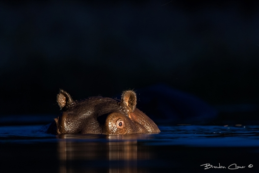 Lowlight Wildlife Photography with Brendon Cremer